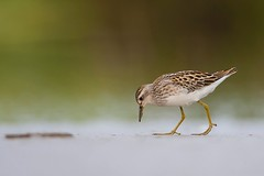 Long-toed Stint | långtåsnäppa | Calidris subminuta