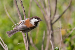 Chestnut-backed Chickadee | rostmes | Poecile rufescens