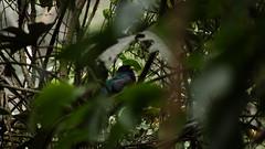 Masked trogon-Trogon pesonatus 25cm