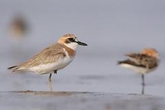Greater Sand Plover | ökenpipare | Charadrius leschenaultii | Jiangsu, China | female