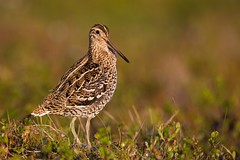 Great Snipe | dubbelbeckasin | Gallinago media