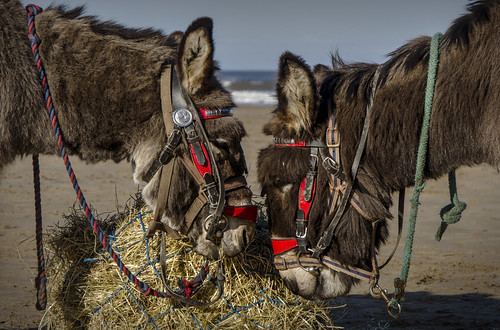 Donkeys on the beach, Whitby, North Yorkshire