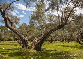 Olivar en Sierra de Cazorla - Jaén