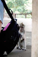 Bali 2015, Monkey Forest, little thiefs can work zippers! WM