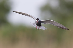 Whiskered Tern hovering above breeding colony