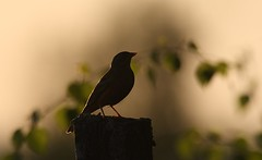 Ortolan Bunting at sunset