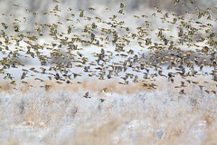 Mixed flock of finches over a frosty field (European Goldfinch, Brambling, Linnet and Chaffinch)