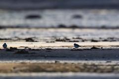 Common Ringed Plover   större strandpipare   Charadrius hiaticula