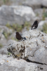 Black Wheatear | svart stenskvätta | Oenanthe leucura