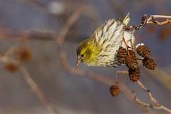 Eurasian Siskin | grönsiska | Spinus spinus