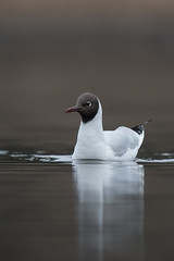 Black-headed Gull | skrattmås | Chroicocephalus ridibundus