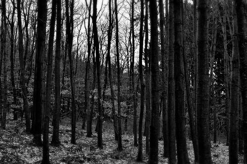 A szürke erdő