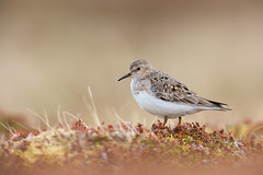 Temminck's Stint in breeding habitat