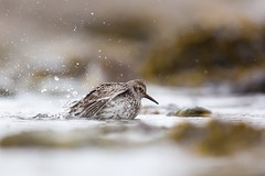 Purple Sandpiper | skärsnäppa | Calidris maritima | Norway | May 2015
