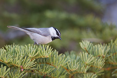 Mountain Chickadee | bergtita | Poecile gambeli