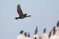 Pelagic Cormorant | pelagskarv | Phalacrocorax pelagicus