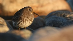 Purple Sandpiper | skärsnäppa | Calidris maritima | Sweden | April 2007