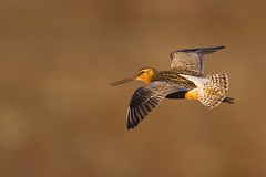 Male Bar-tailed Godwit in flight
