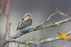 Wryneck perching