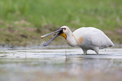 Eurasian Spoonbill tossing a fish up in the air
