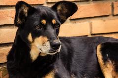 Street dog at Holambra