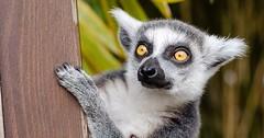"""Das Beobachten. Der Lemur beobachtet. Die Lemuren beobachten. • <a style=""""font-size:0.8em;"""" href=""""http://www.flickr.com/photos/42554185@N00/26100618005/"""" target=""""_blank"""">View on Flickr</a>"""