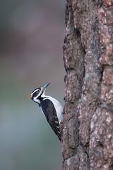 Hairy Woodpecker | hårspett | Picoides villosus