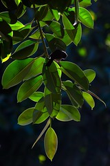 Common Bulbul | trädgårdsbulbyl | Pycnonotus barbatus
