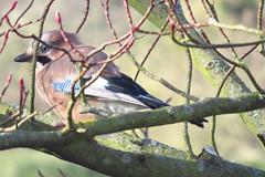 Jay at Kew Gardens