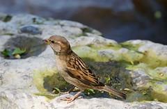 Lincoln's Sparrow - 1