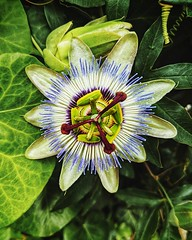 Day 784 - Blue passionflower, indigenous to South America but now readily found in France and Spain. Sav and I arrive in Bayonne, France today, just a day walk from Spain. Once we're in Spain I'll see if I can get my visa extended. Keep your fingers cross