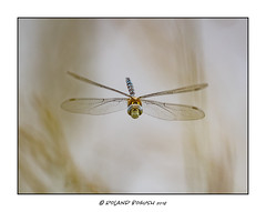 Migrant Hawker - hawking in the reeds