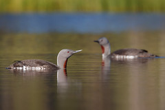 Red-throated Loon | smålom | Gavia stellata