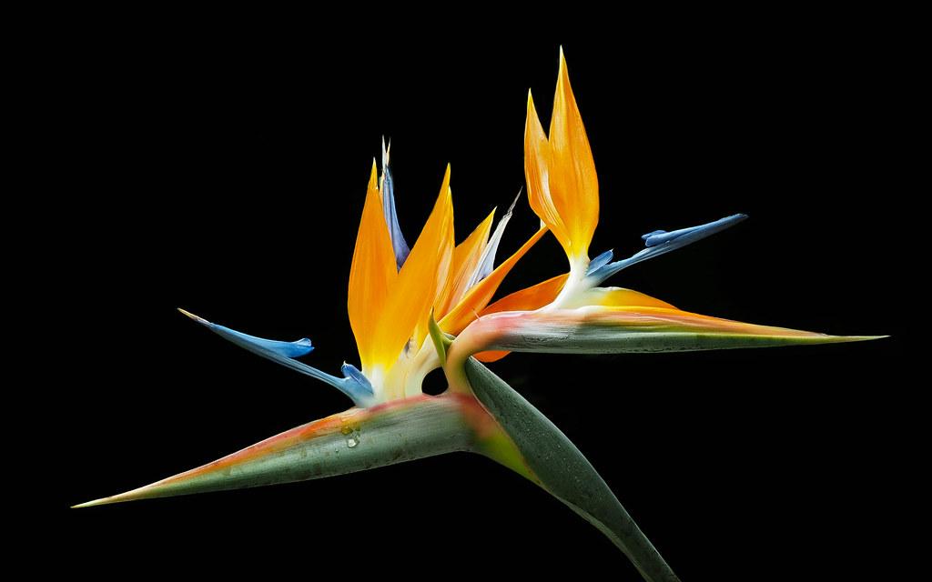 The Worlds Best Photos Of Strelitziaceae Flickr Hive Mind