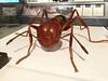 Photo:写真は巨大化模型ですが、実寸大のヒアリの姿・赤の混じった微妙な色合いを知れるのはとてもいい。 By