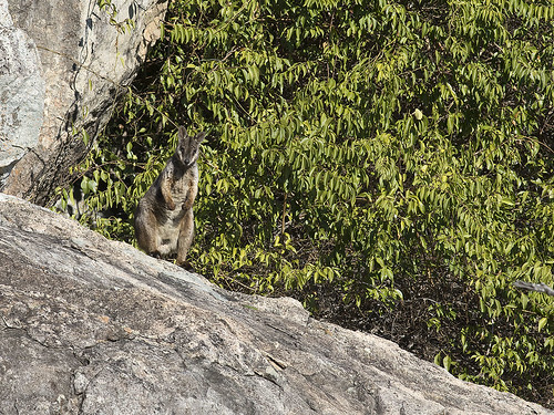 "Herbert's Rock-wallaby - Eidsvold, QLD • <a style=""font-size:0.8em;"" href=""http://www.flickr.com/photos/95790921@N07/42281360070/"" target=""_blank"">View on Flickr</a>"