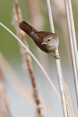 Cetti's Warbler | cettisångare | Cettia cetti