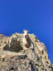 Curious mountain goat checking me out :)