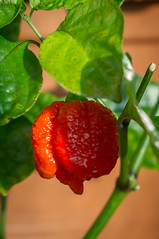 """Trinidad Scorpion Moruga • <a style=""""font-size:0.8em;"""" href=""""http://www.flickr.com/photos/85612090@N02/43780000024/"""" target=""""_blank"""">View on Flickr</a>"""