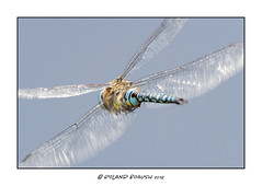 Close pass - dragonfly in flight