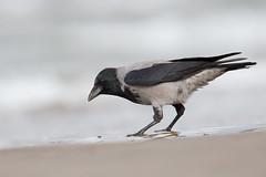 Hooded Crow   gråkråka   Corvus cornix
