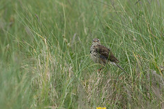 Another Pipit