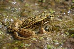 Northern Leopard Frog -