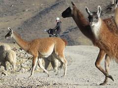 Vicuñas und Lamas