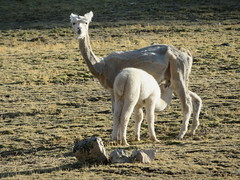 Alpaka: Mutter ist geschoren