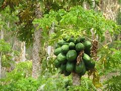 Papaya-Baum
