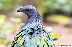 Nicobar pigeon #nicobarpigeon