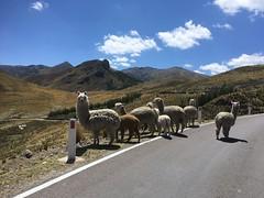 Alpakas am Strassenrand auf den Pass hoch, kurz nach Ayacucho