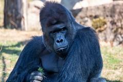 Gorila nížinná (Gorilla gorilla gorilla)