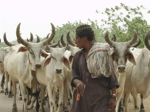 """Tharparkar breed of cow that is heat and drought resistant and provides 10kgs of milk daily,"""""""